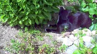Кот охотник.ASF