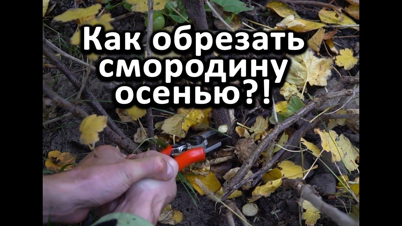 как подготовить смородину осенью