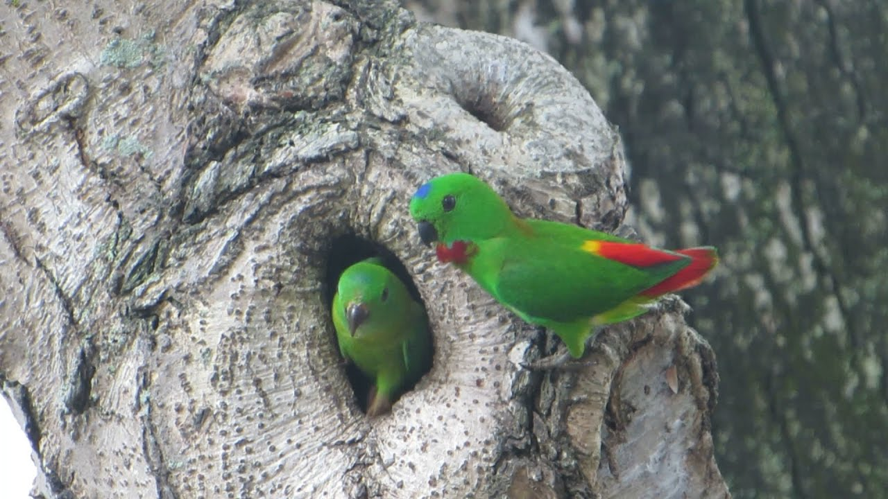 Just a family of rare green parrots hanging out from a tree