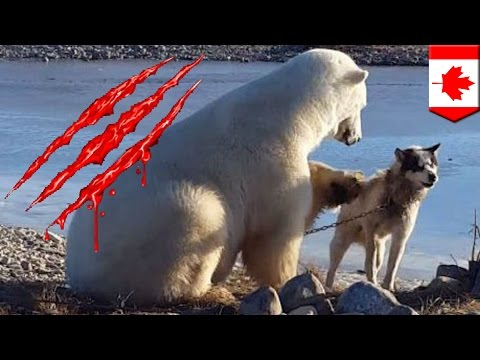 Polar bear eats dog: Dog-petting polar bear ate sled dog hours after cute viral video - TomoNews
