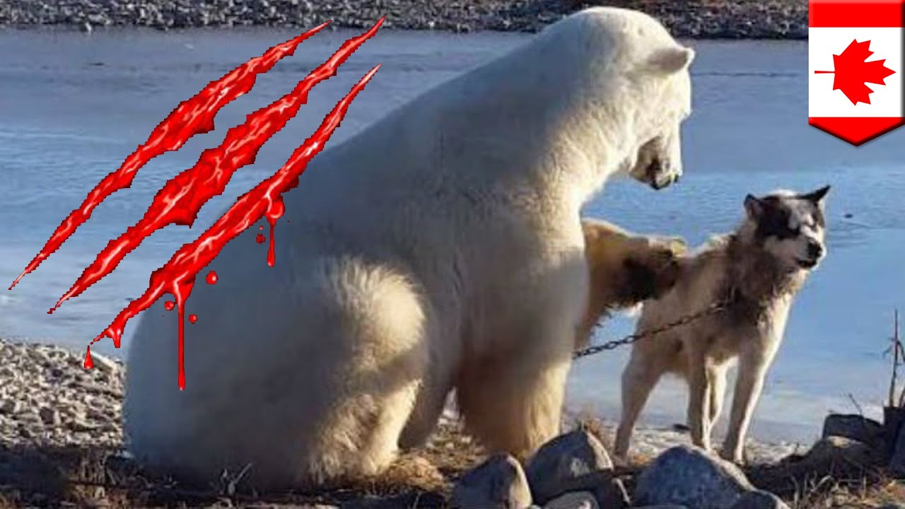 Cute Video Of Polar Bear Petting A Dog