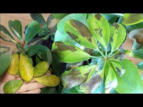 Шеффлера – опадают и темнеют листья. Причины заболевания Шеффлеры!