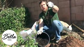 Daniel Bryan's Garden: How to plant a pomegranate tree!