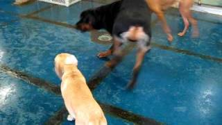 Rottweiler And Puggle Puppy Play At Doggie Oasis Day Care In Las Vegas, Nv