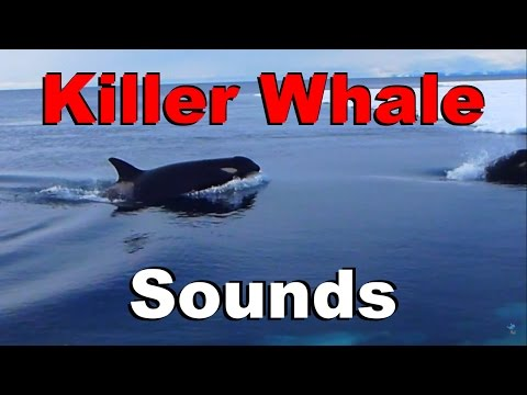 Killer Whale Sounds and Spy Hopping Through Antarctic Pack Ice