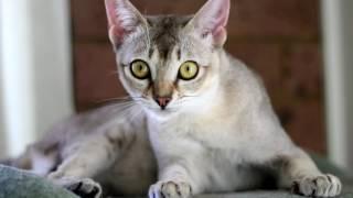 Порода кошек. Сингапурская кошка.Кошка выведенная на туманном альбионе.