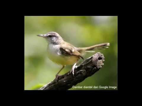 Kicauan Burung Ciblek Betina dan Tips Perawatan Burung Ciblek yg bagus