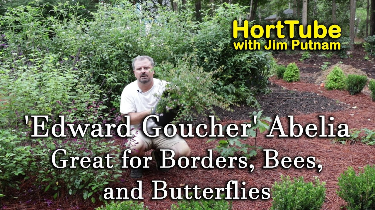 Edward Goucher Abelia Great For Borders Bees And Butterflies