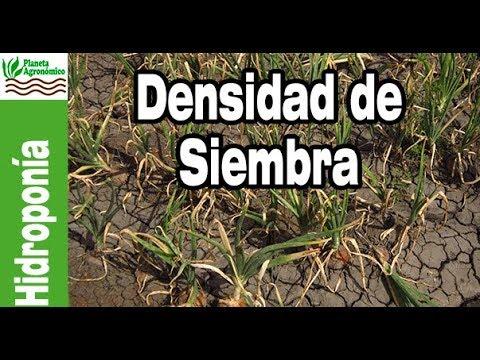 C mo extraer densidades de siembra y plantaci n de calidad for Densidad de siembra de tilapia