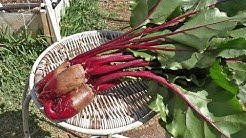 Growing Beets - Cylindra (Cylindrical beets)