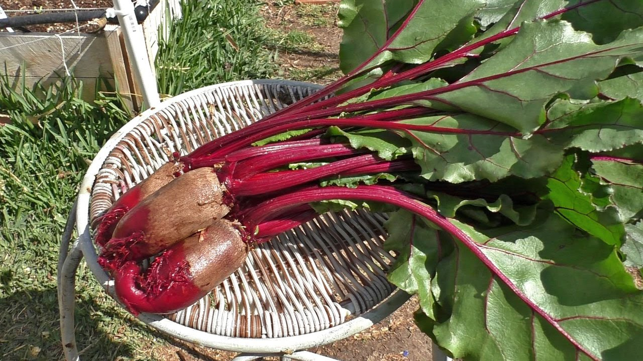 Growing Beets Cylindra Cylindrical Beets Youtube