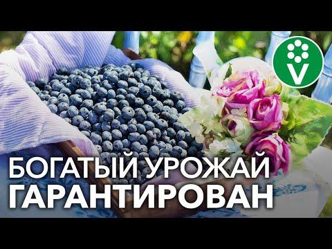 Вопрос: Какое растение дало повод рассказать о ,, хлебных дождях?