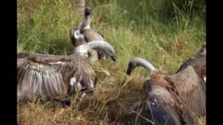 東非肯雅 Kenya Safari Dec 2008 (2) (Maasai Mara)