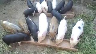 как спасти пылающих свиней собственно