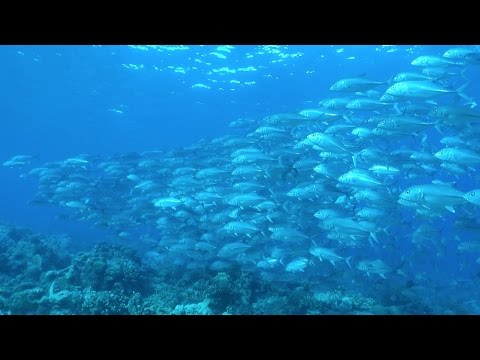 One Fish + One Fish + One Fish - The Finest Schools Of Fish In The World (HD)