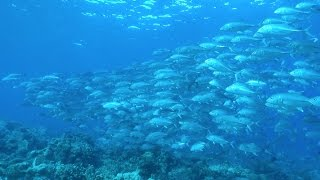 Download Video One fish + one fish + one fish - The finest schools of fish (HD) MP3 3GP MP4