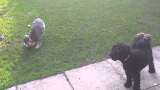 Our Miniature Poodle And Miniature Schnauzer