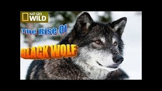 Documentary Film 2015 The Rise of Black Wolf, Nat Geo Wild 2015 , National Geographic HD