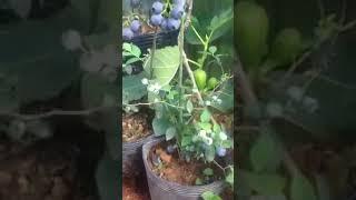 cây việt quất trồng chậu ra trái , Blueberry