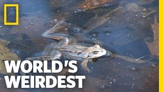 Living Dead Frogs | World's Weirdest