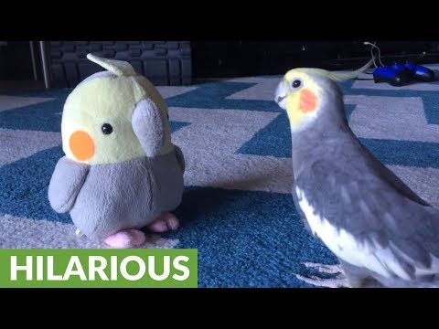 Cockatiel reacts to plush toy version of himself