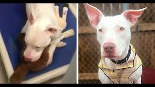 Deaf Pit Bull Cries Because Her Best Friend Got Adopted Without Her
