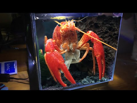My MASSIVE Red LOBSTER Gets His DREAM TANK!!