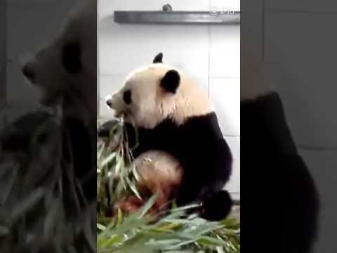 Tai Shan's keeper meets Bao Bao for the first time