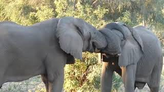 Two Elephants Hug Each Other with Trunks 1049986