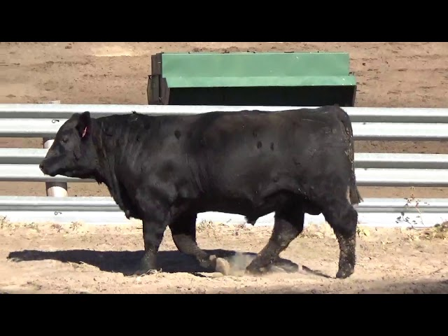 Connealy Angus Lot 48