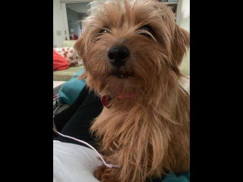 Scott Isbell - Meet My Dogs Nick & Mia Norfolk Terriers