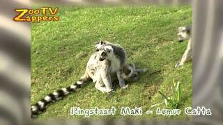ZooZappers -  Ringstaartmaki