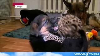 Маленького леопарда отдали на воспитание собаке.