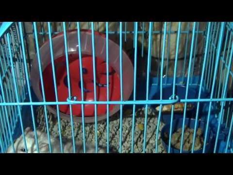 Hamster lucu Proses perkawinan hamster part 3
