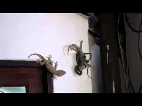 Aksi Penyelamatan Tokek dari Ular (Tokek vs Ular)
