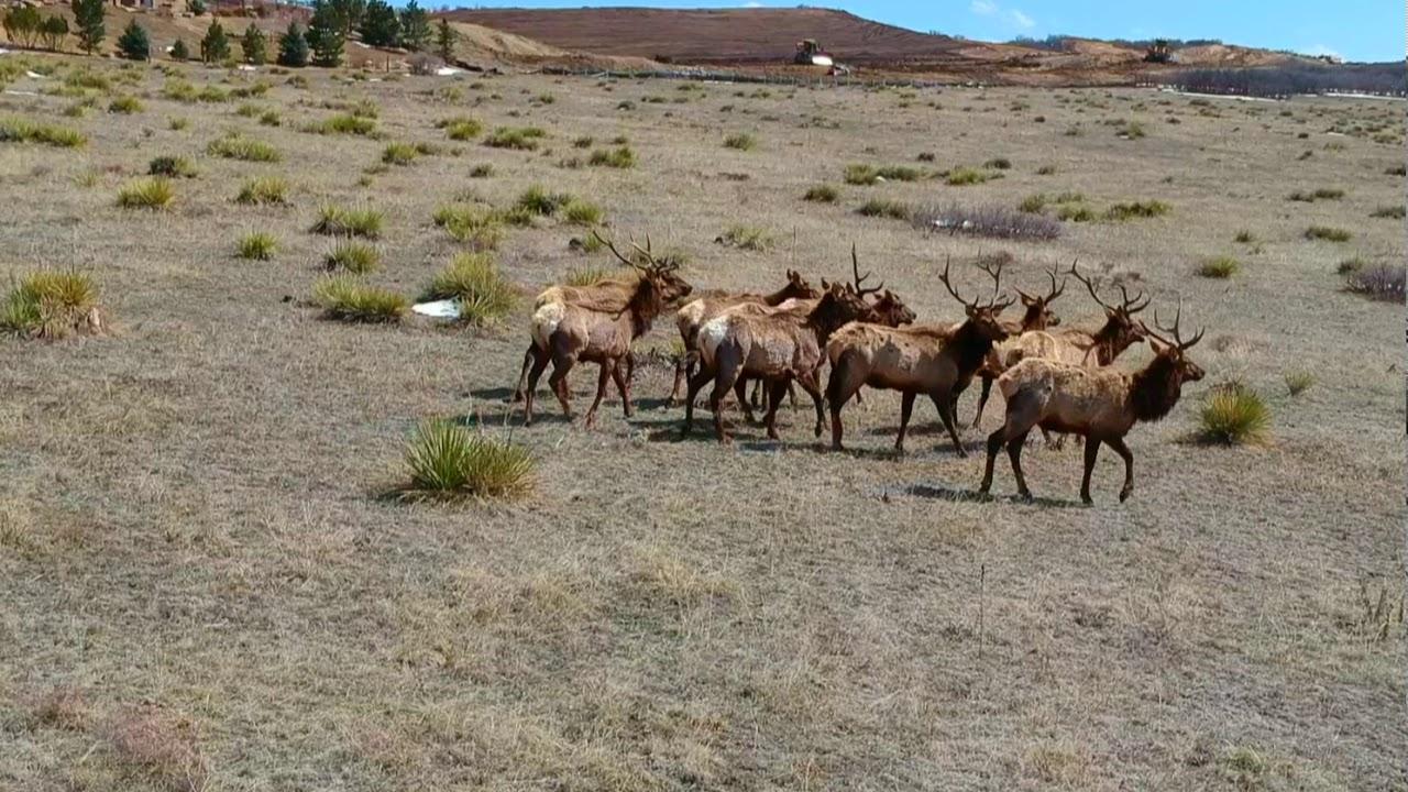 Drone Shot - Elk in Colorado!