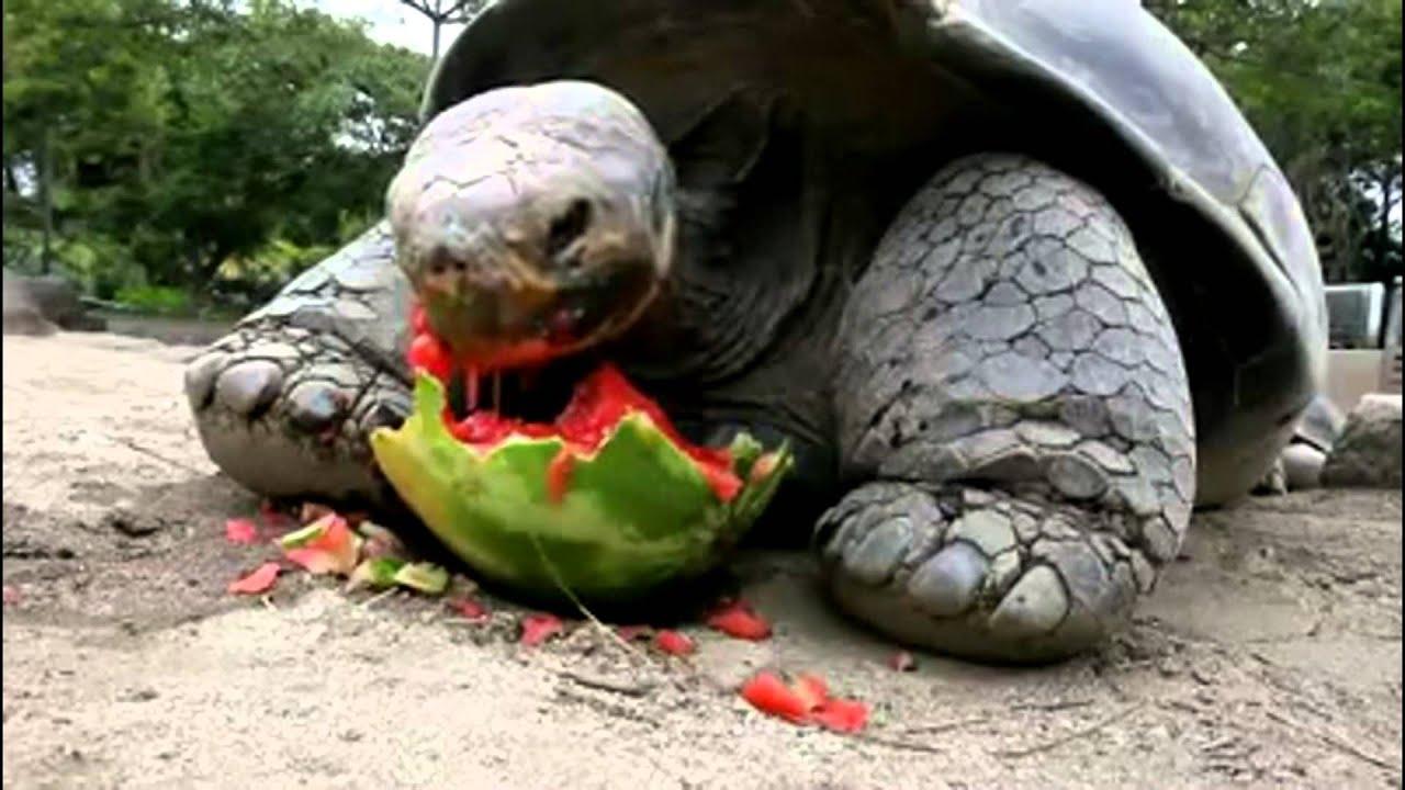 galapagos tortoise world�s biggest tortoise can eat 70 lb