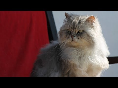 How to Raise Angora Cats - Taking Care of Cats