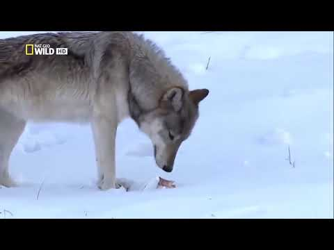 Black Wolf   The Mystery Of Dark Wolves Nat Geo Wild