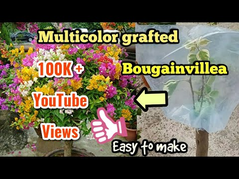 How to graft bougainvillea/Makes Multi Coloured Bougainvillea using Bark Grafting