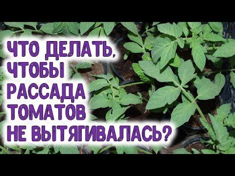 Что делать, чтобы рассада томатов не вытягивалась при поздней посадке в грунт? Способы сдерживания