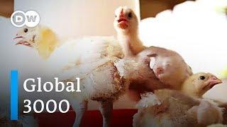 Ghana: Die letzten Geflügelzüchter vor dem Aus | Global 3000