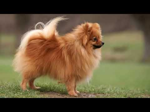 German Spitz Klein - small dog breed