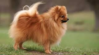 German Spitz Klein  small dog breed
