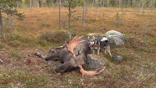 Moose Hunting with Swedish Jämthund