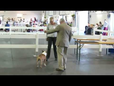 Junior Dog Miniature bull terriers  Paignton ChampionshipShow 06/08/16