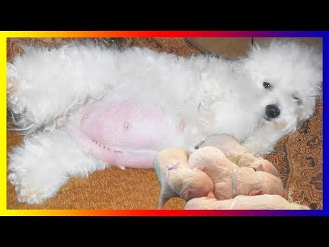 White Toy Poodle Dog Breeds Pregnancy Giving Birth To Five Cute Puppies