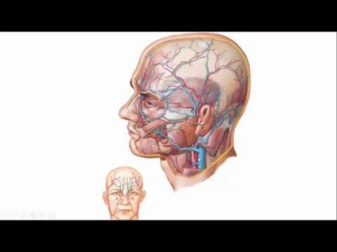 vaten deel 4 hals en hoofd arterien