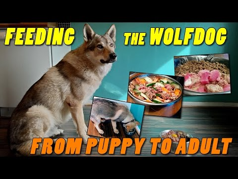 Czechoslovakian Wolfdog Lovec - Feeding the wolf dog, from puppy to adult - BARF Raw Food
