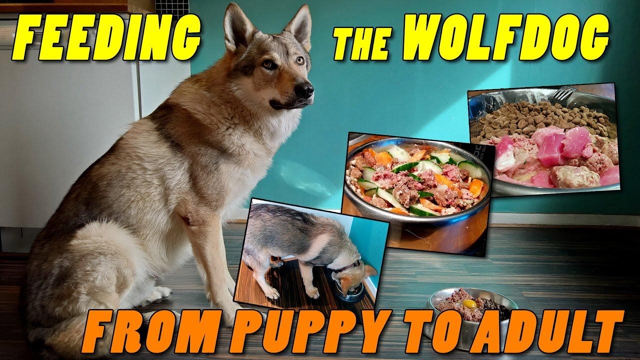 Czechoslovakian Wolfdog Lovec - Feeding the wolf dog, from puppy to ...